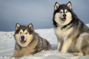 Alaskan Malamutes Pros and Cons