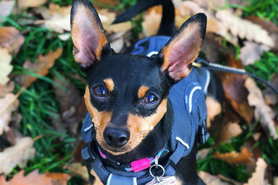 Theo the Miniature Pinscher (Photo: @litogodfather / Instagram)