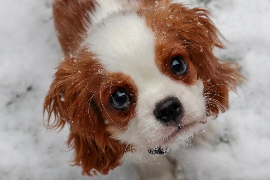 Louie the Cavalier King Charles Spaniel (Photo: heylittlelouie / Instagram)