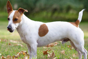 Jack Russell Terrier pros and cons