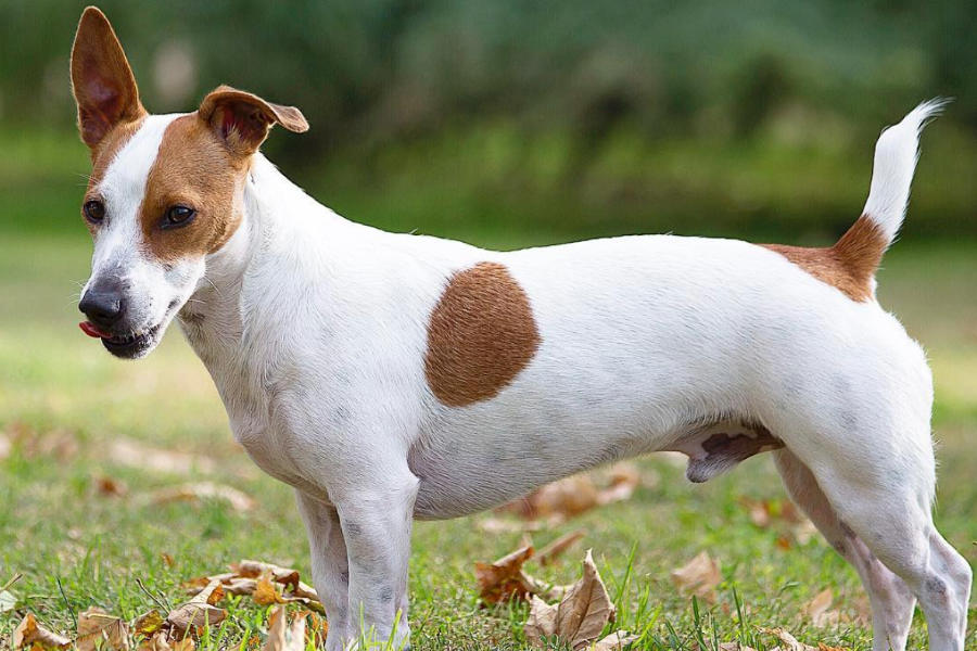 Jack Russell Terrier (Photo: jackrussell_luc / Instagram)