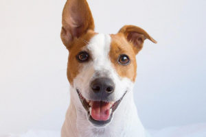 What does Jack Russell Terrier look like?