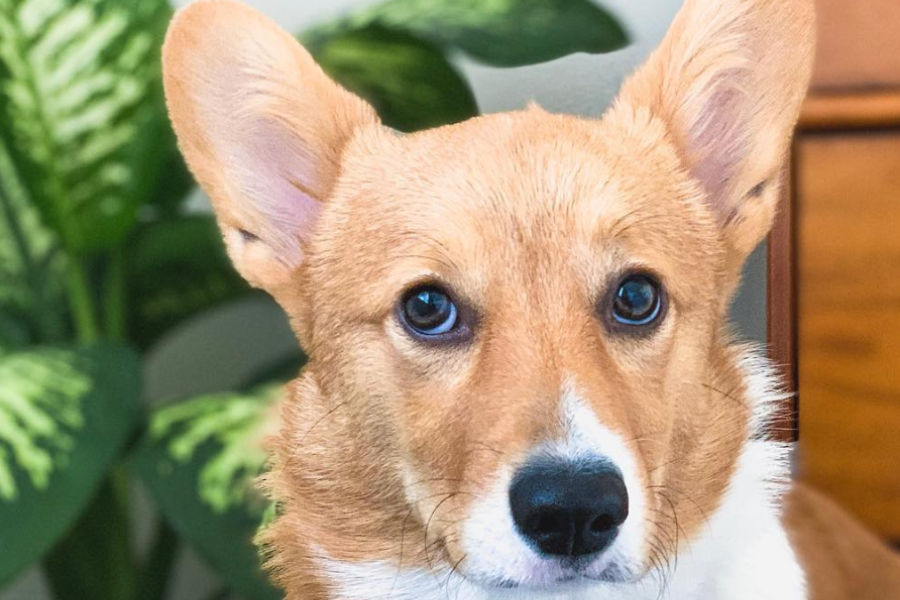 The Corgi has an average lifespan of 12-14 years (Photo: lynnyskynny_thecorgi / Instagram)