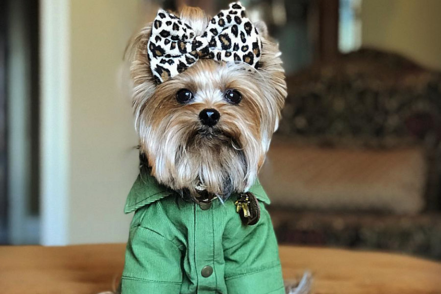 Yorkshire Terrier Maggie Mae (Photo: _miss_maggie / Instagram)