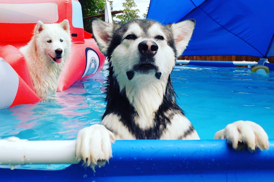 Alaskan Malamutes Tonka and Monroe (Photo: @tonkaandmonroethewaterwolves / Instagram)
