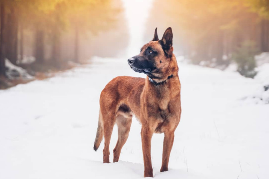 Jack the Belgian Malinois (Photo: @2belgianexplorers / Instagram)