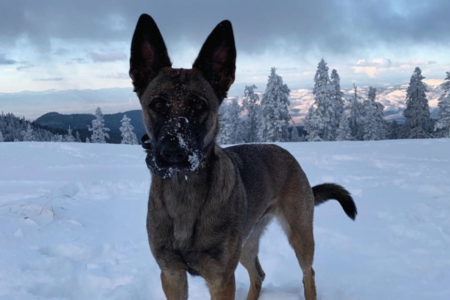 Jacali the Malinois X (Photo: @jacalidog / Instagram)