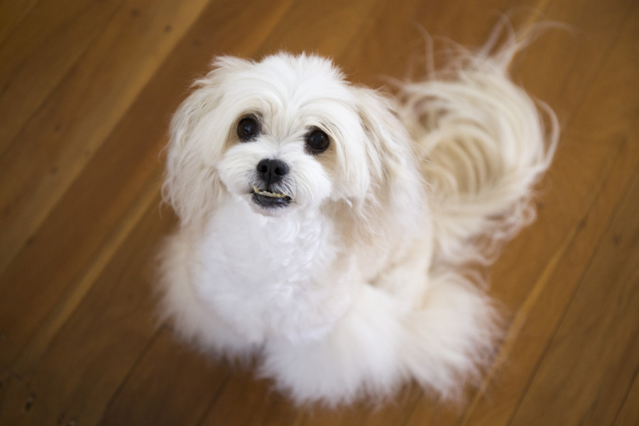 Maltese Bichon Frise cross (Photo: Adobe Stock)