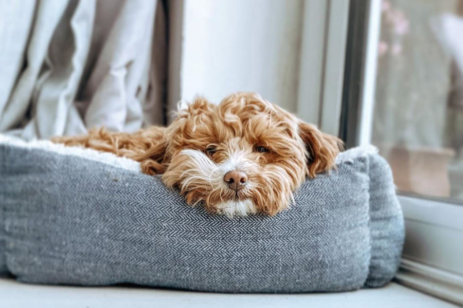 Willow the Maltipoo (Photo: @willow.the.maltipoo / Instagram)