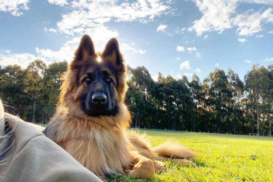 Maverick the German Shepherd (Photo: mav_and_friends / Instagram)