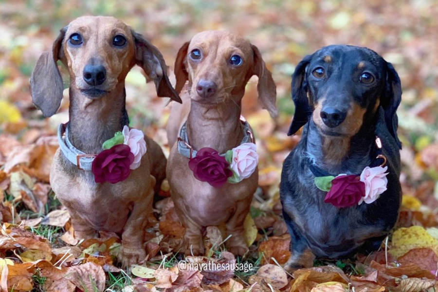 Dachshund trio Maya, Peanut and Stella (Photo: @mayathesausage / Instagram)