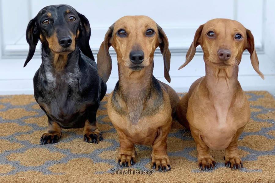 Dachshund trio Maya, Peanut and Stella (Photo: @mayathesausage / Instagram)