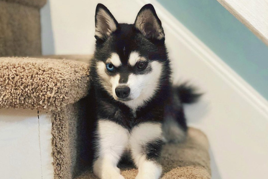 Mila the Alaskan Klee Kai (Photo: @mila.thekleekai / Instagram)