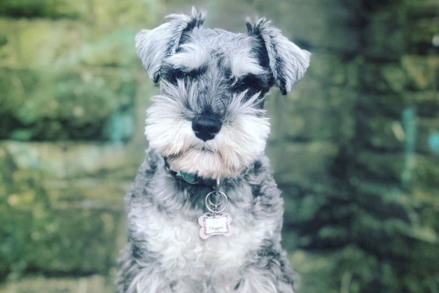 Cher Minogue the Mini Schnauzer (Photo: @minichernauzer / Instagram)