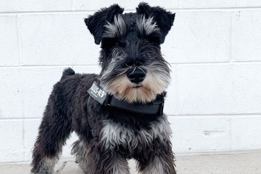 Mushu the Mini Schnauzer (Photo: @mushuthemini / Instagram)