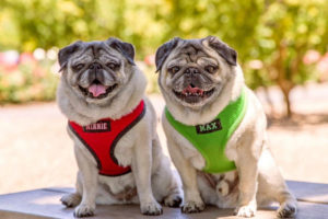 Minnie and Max The Pugs Interview