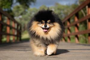 Mocha the Pomeranian interview