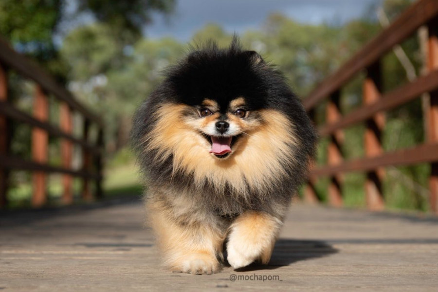 Mocha the Pomeranian (Photo: @mochapom_ / Instagram)