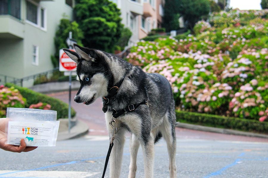 Alaskan Klee Kai Skye eyes some Nom Nom during a walk in San Francisco (Photo: @lifewithkleekai / Instagram)