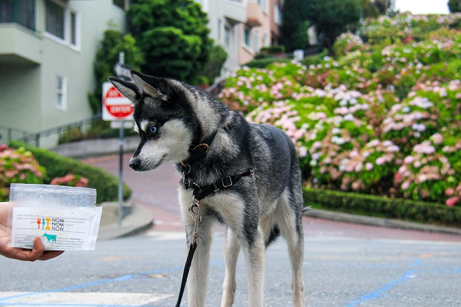 Alaskan Klee Kai Skye eyes some Nom Nom during a walk in San Fransisco (Photo: @lifewithkleekai / Instagram)