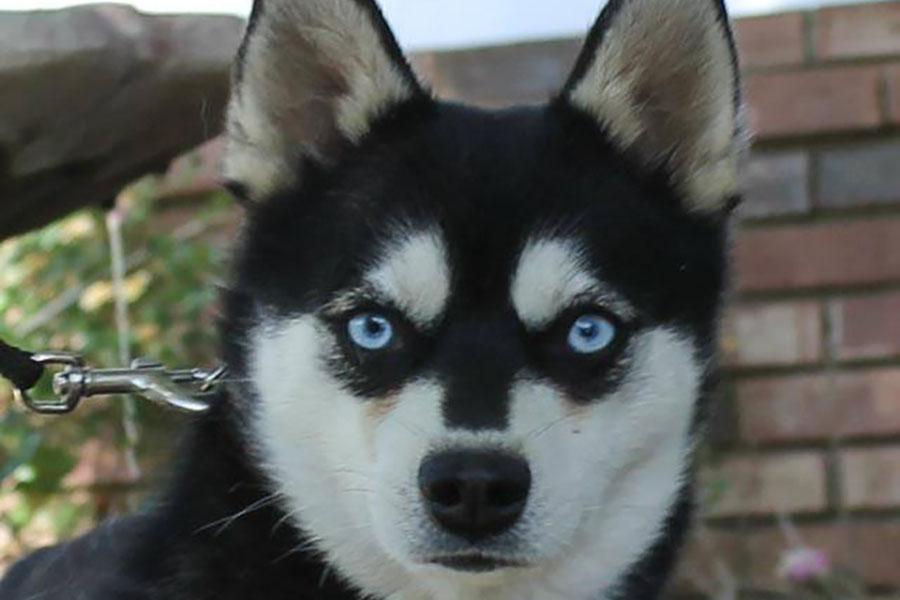 Black and white Alaskan Klee Kai (Photo: Nordic Mini Husky)