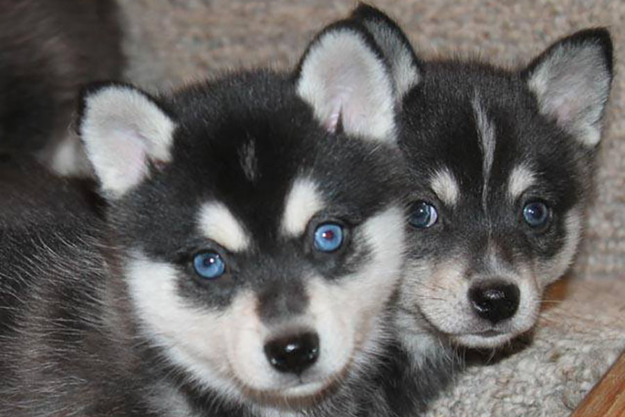 Alaskan Klee Kai puppies (Photo: Nordic Mini Husky)