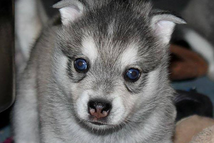 Alaskan Klee Kai puppy (Photo: Nordic Mini Husky)