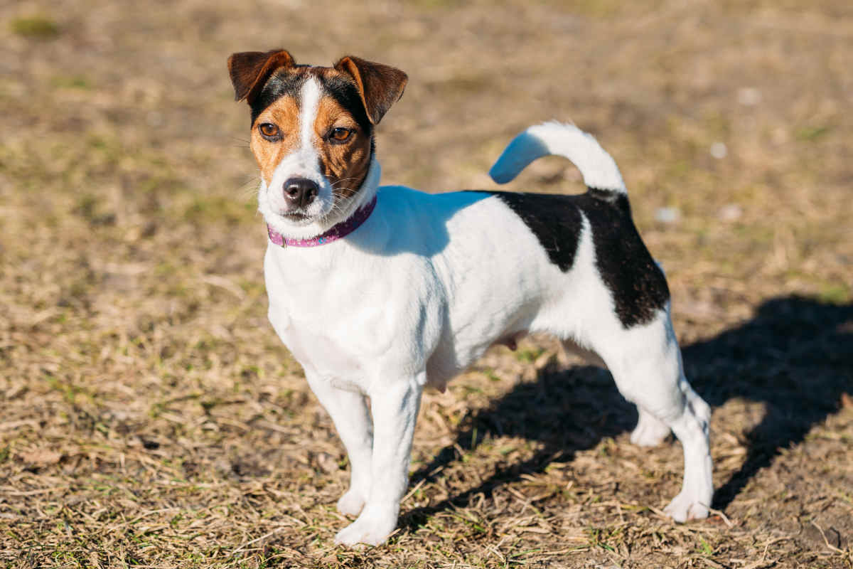 Young Parson Russell Terrier (Photo: Adobe Stock)