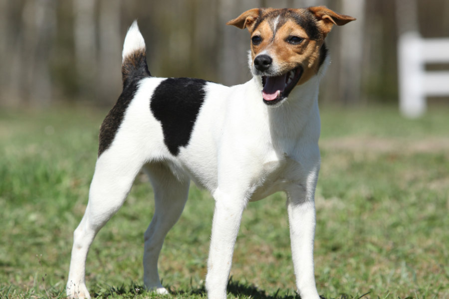 Parson Russell Terrier (Photo: Adobe Stock)