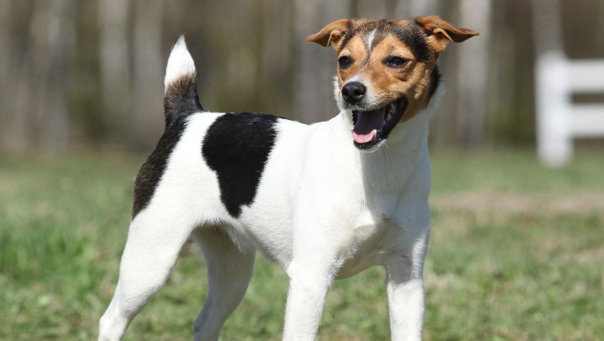 Parson Russell Terrier at the park (Photo: Adobe Stock)