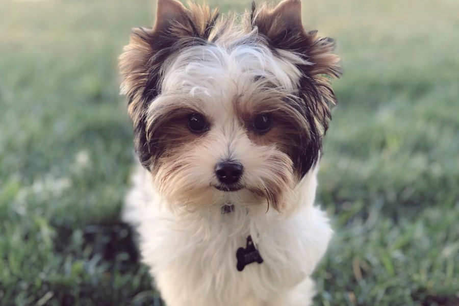 Tito the Parti Yorkie (Photo: titothepartiyorkie / Instagram)