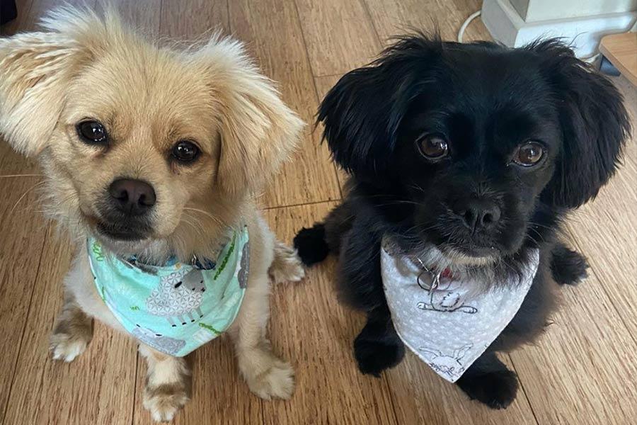 Kenji and Spencer the Peekapoos (Photo: @kenjispencer / Instagram)