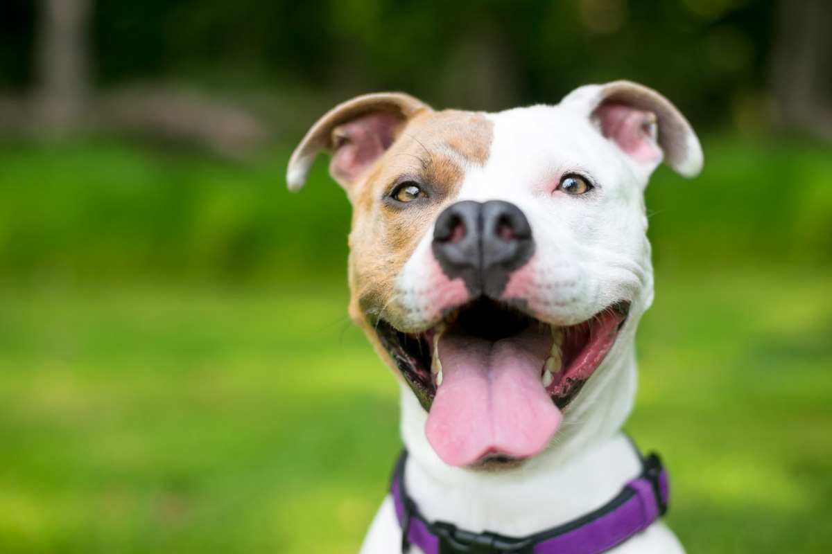 Pitbull Terrier Mix (Photo: Adobe)