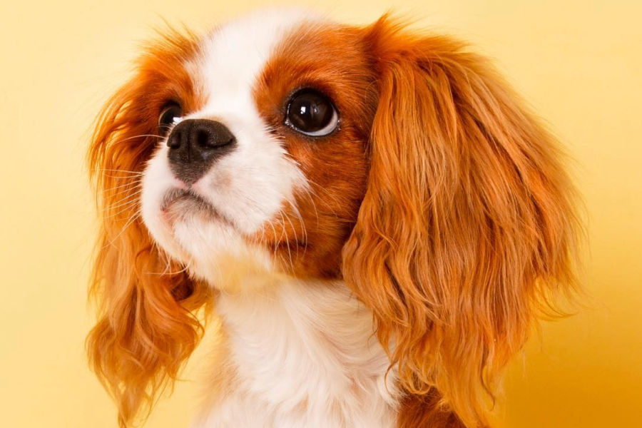Pixel the Cavalier King Charles Spaniel (Photo: @cavalierpixel / Instagram)