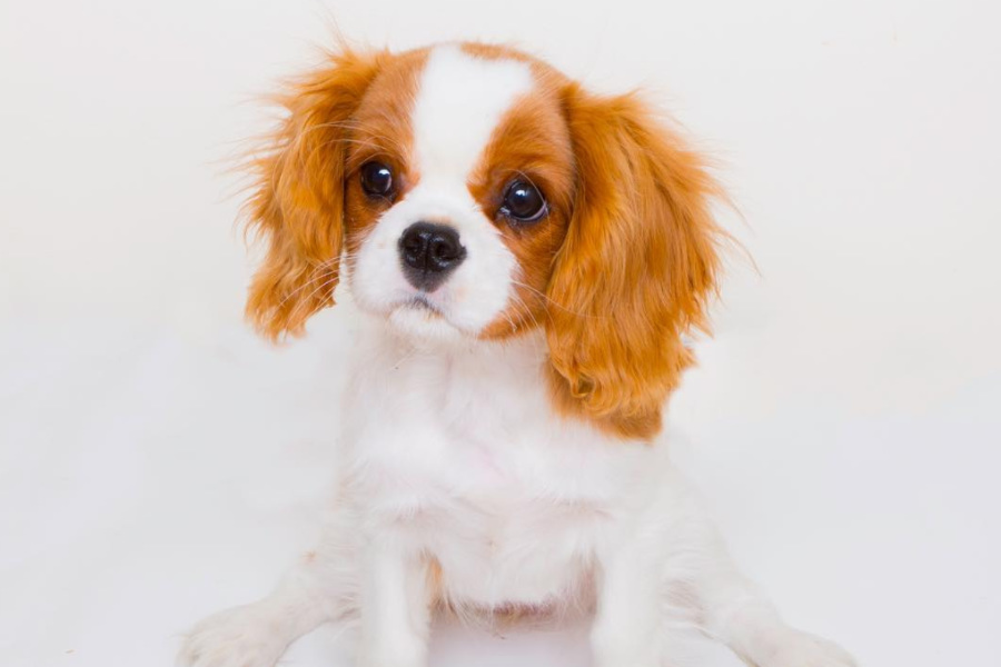 Pixel the Cavalier (Photo: @cavalierpixel / Instagram)