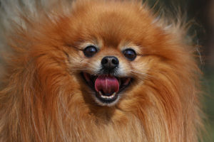 How Much Do Pomeranians Cost?