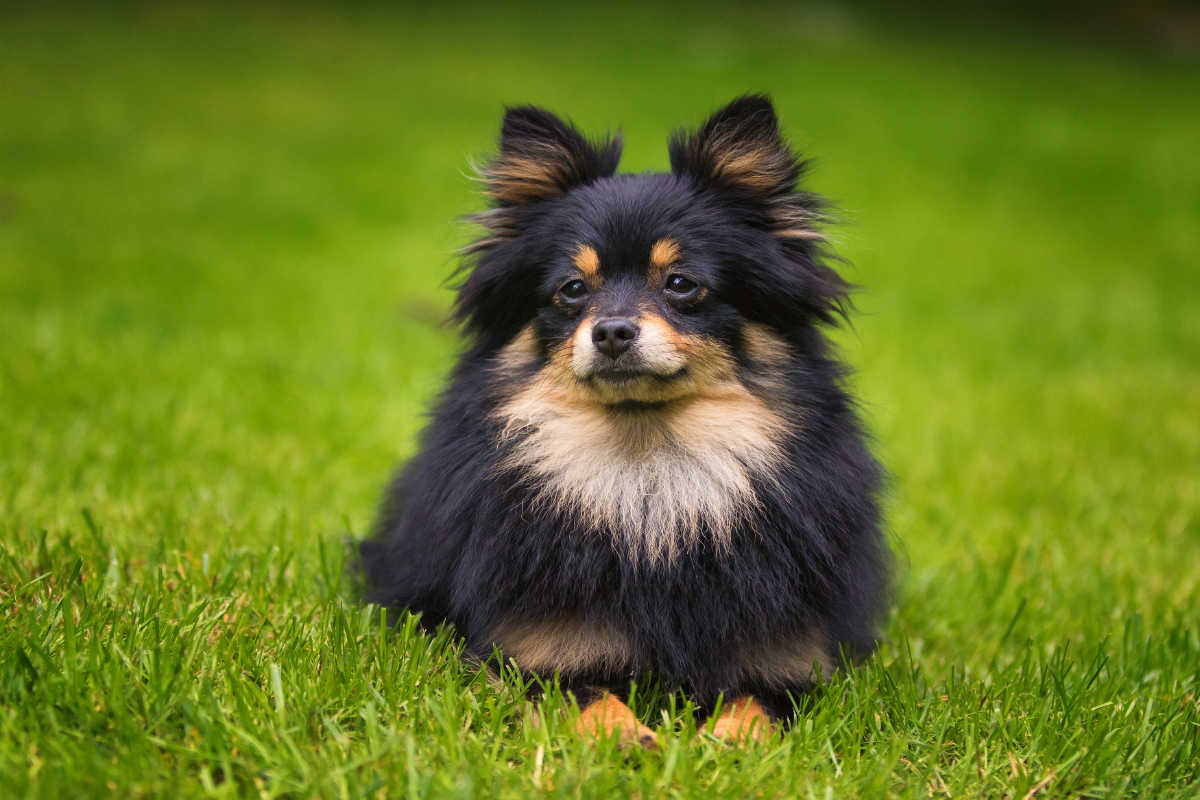 Black and tan Pomeranian (Photo: Adobe Stock)