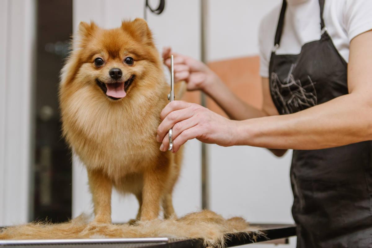 Pomeranian at the groomers (Photo: Adobe)