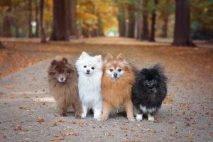 Are Pomeranians Hypoallergenic?