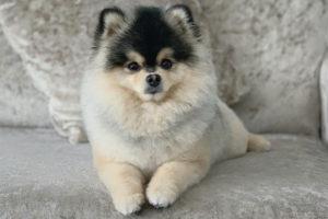 Do Pomeranians shed?
