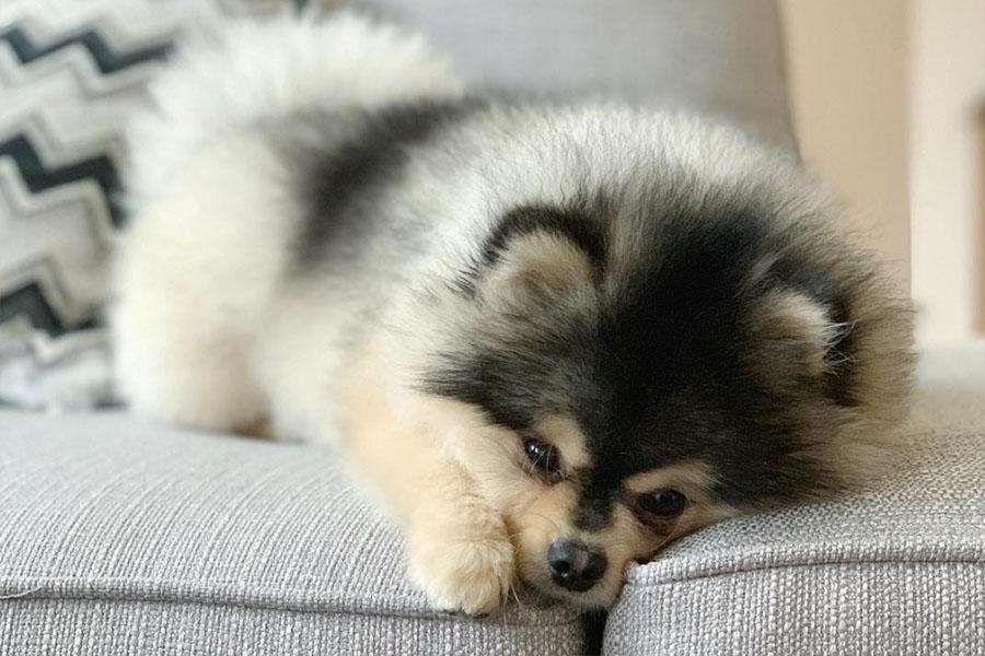 Daniel Sturridge's Pomeranian Lucci (Photo: luccidapoochie / Instagram)