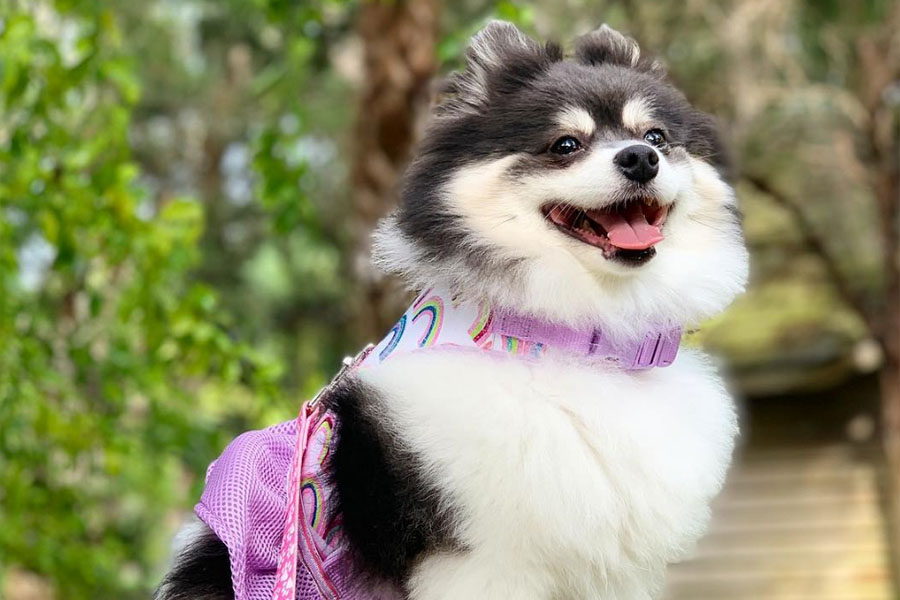 Scout the Pomeranian (Photo: @scout2015 / Instagram)