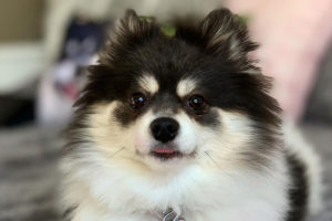 Scout the Pomeranian Questions and Answers