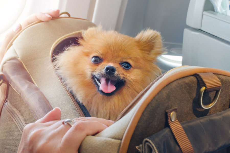Pomeranian in pet carrier (Photo: Adobe Stock)