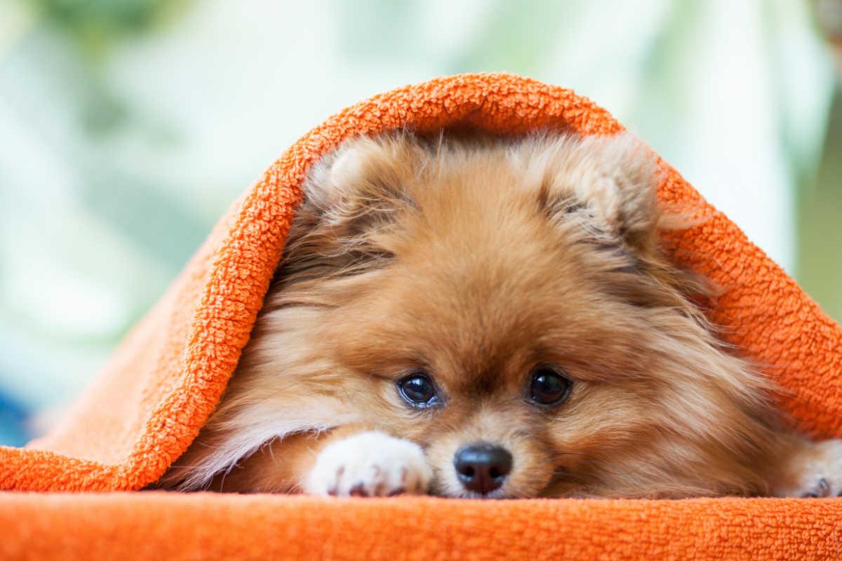Pomeranian under a blanket (Photo: Adobe)