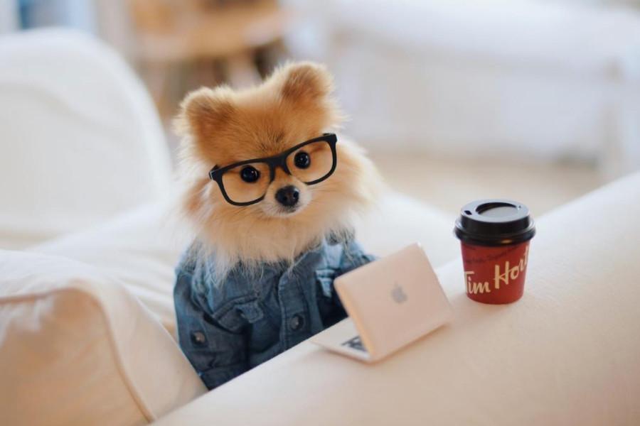 Pom Pom Chew the Pomeranian (Photo: @pompomchewy / Instagram)