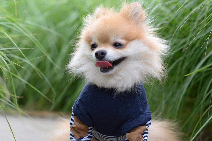 Pom Pom Chewy the Pomeranian (Photo: @pompomchewy / Instagram)