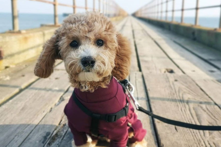 George the Poochon (Photo: @poochongeorge / Instagram)