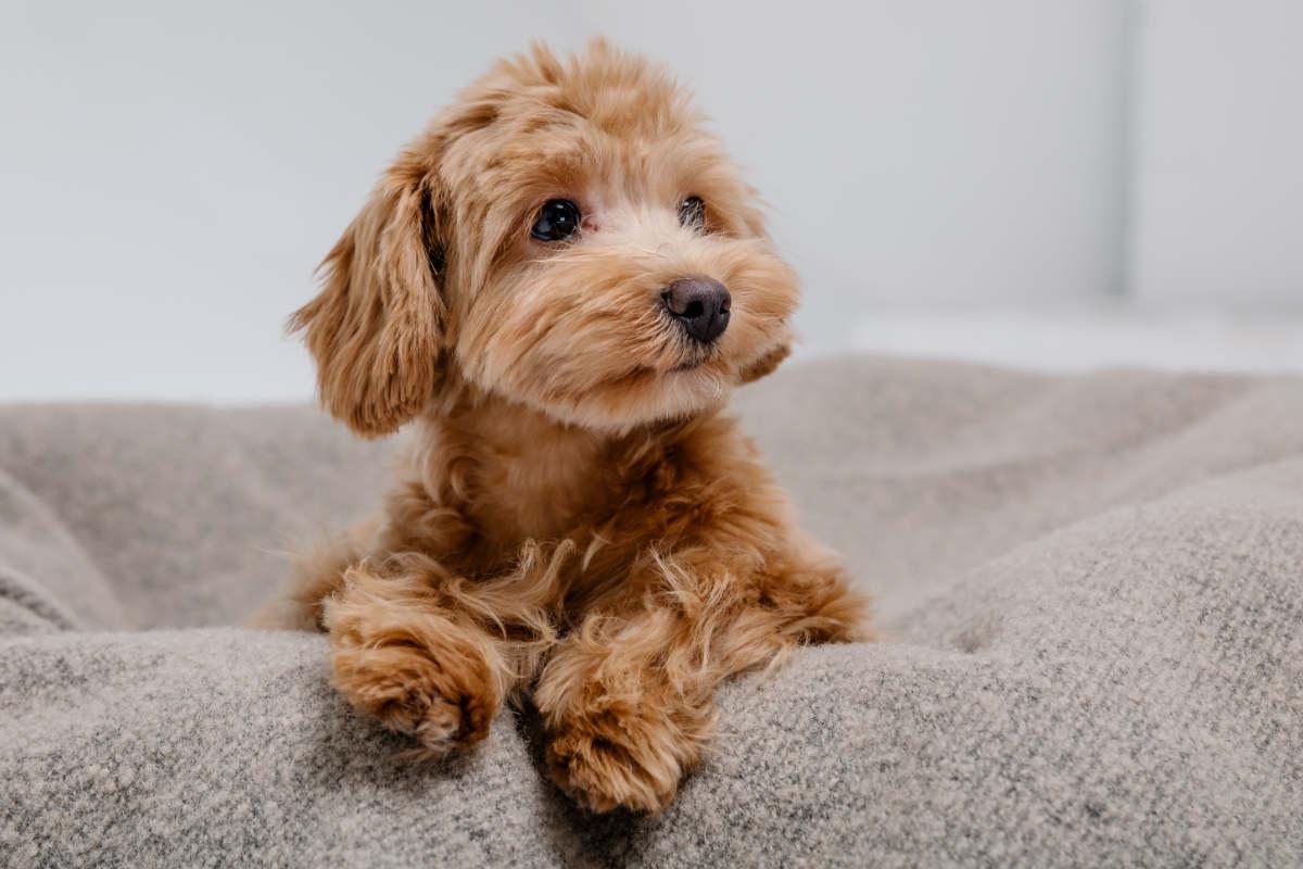 Poodle Mix (Photo: Adobe Stock)