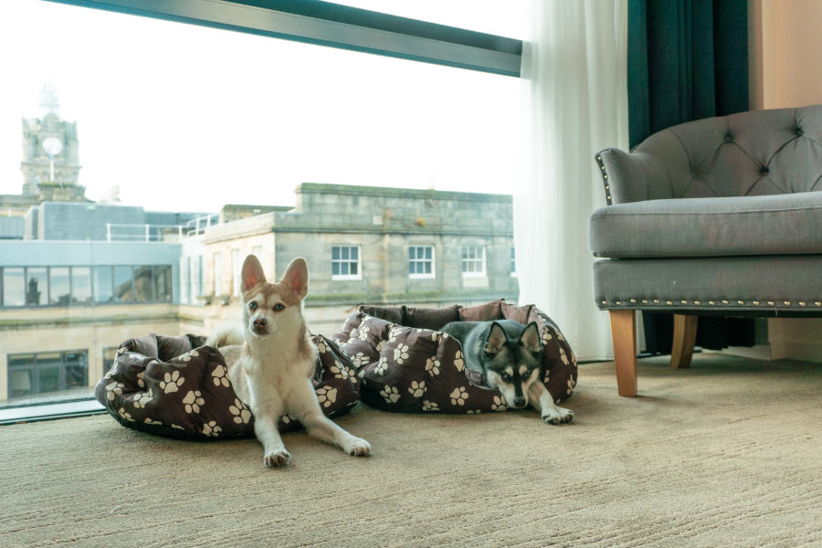 Alaskan Klee Kai relax with views of Edinburgh (Photo: lifewithkleekai / Instagram)